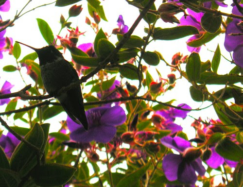 Dark Hummingbird by blmurch.