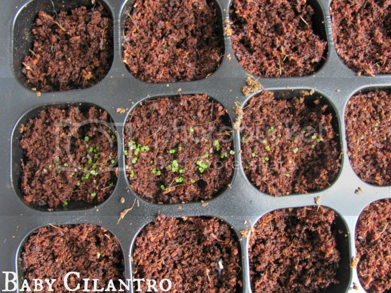 photo CilantroSeedlings.jpg