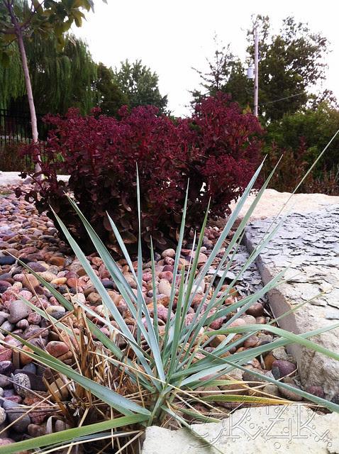 IMG_0340 Blue Dune Grass, Purple Emperor Sedum
