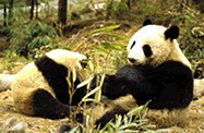 パンダ,panda,панда