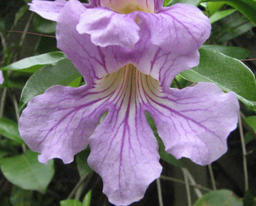 Purple Trumpet Vine