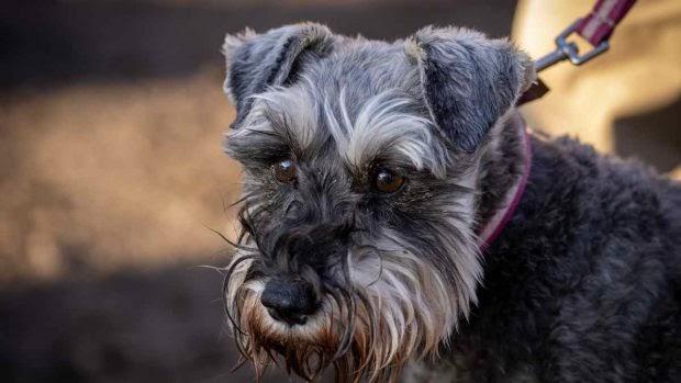 Enfermedades comunes del Fox terrier