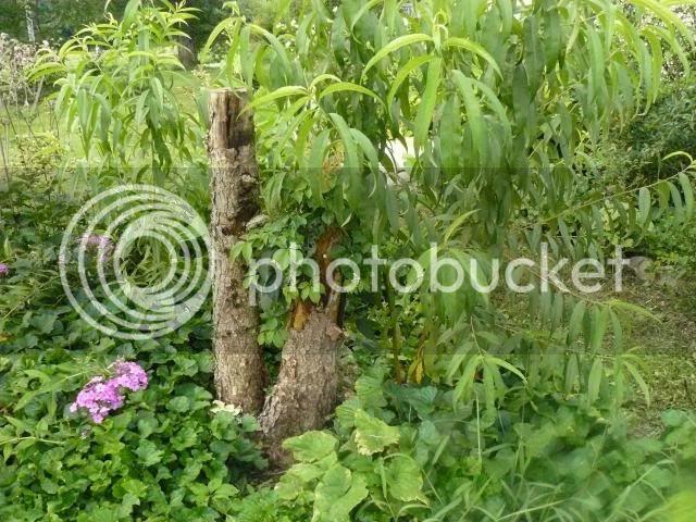 photo seedlingpeachtreesinhbbed_zps6aa12d41.jpg