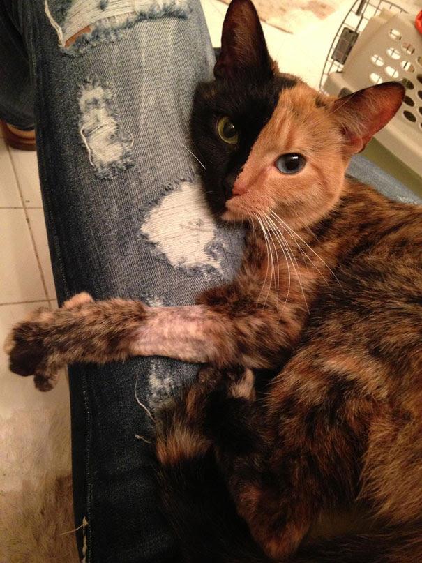 two-faced-chimera-cat-venus-33