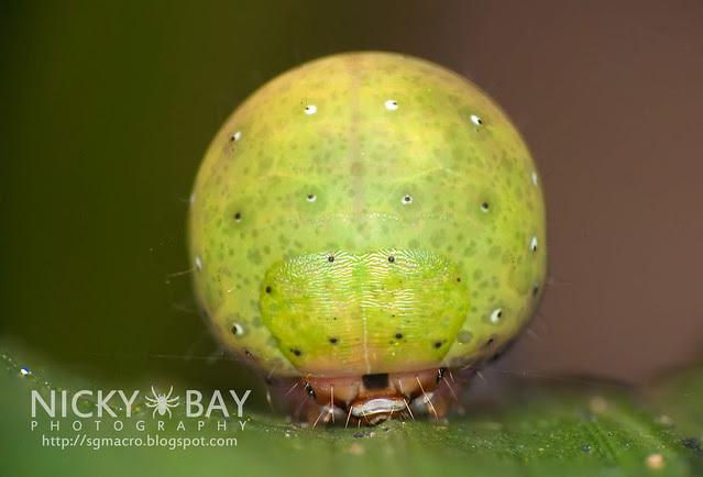 Nolid moth caterpillar (Nolidae) - DSC_1176