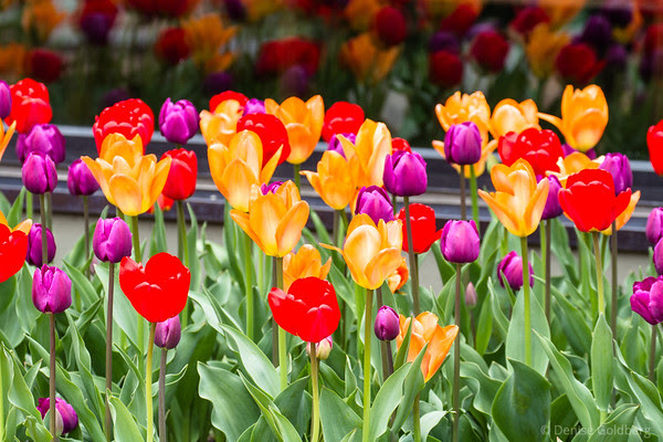 a bed of tulips in red, orange, and purple... reflected in glass