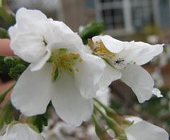 Bug on cherry blossom