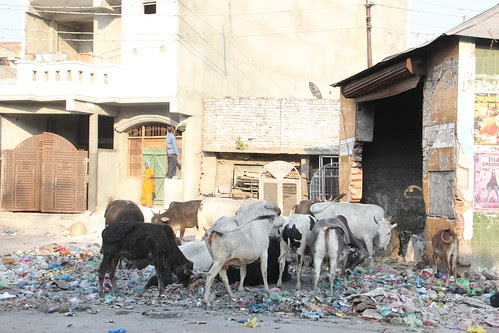 the cows too could do without computers in uttar pradesh by firoze shakir photographerno1
