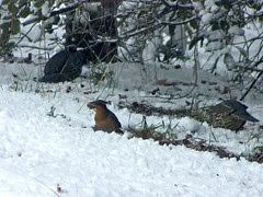 varied thrush with prize
