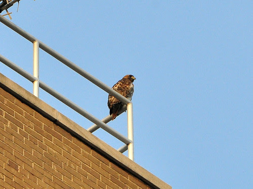 Hawk atop St. Luke's