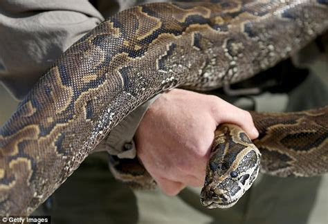 Declining mammal populations linked to Burmese python   Daily Mail Online