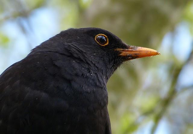 26937 - Blackbird, Llanelli WWT