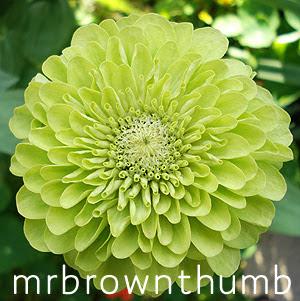 Zinnia Green Envy Flower