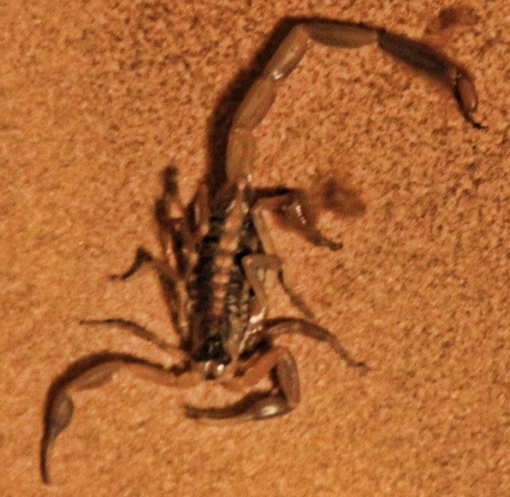 scorpion 003 (800x780)