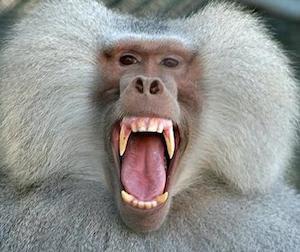 babuino animal  Babuino babuino 2