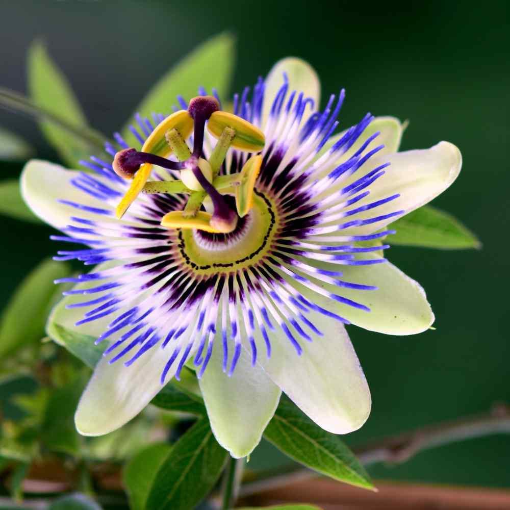 Passion Flower Seeds - Passiflora Caerulea Flower Seed