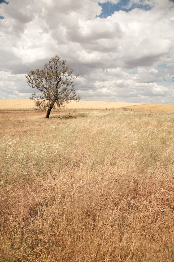 lone_tree_in_field_of_long_dry_grass_with_white_clouds_above