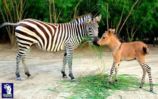 O filhote brinca com a mãe no zoológico de Reynosa, no México (Foto: Divulgação/Zoológico de Reynosa)