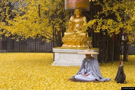 Un antiguo árbol Ginkgo chino despide un océano de hojas doradas