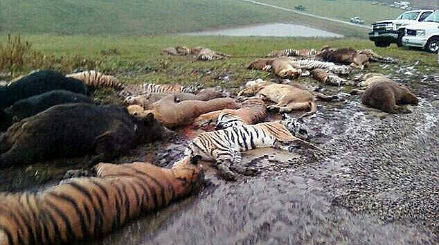 Tragic: Sheriff's deputies shot nearly 50 wild animals - including 18 rare Bengal tigers and 17 lions - across the state's countryside on Wednesday