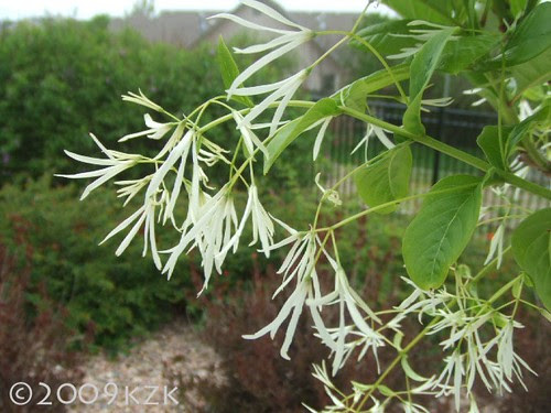 Yorktown Snow Flower Tree