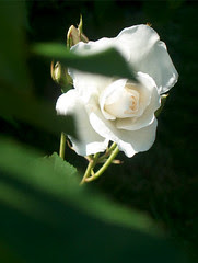 rose, 18 juin 2005