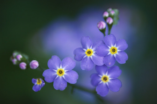 How To Prune Forget Me Nots Hunker