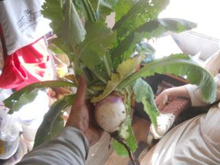 Volunteer Turnip