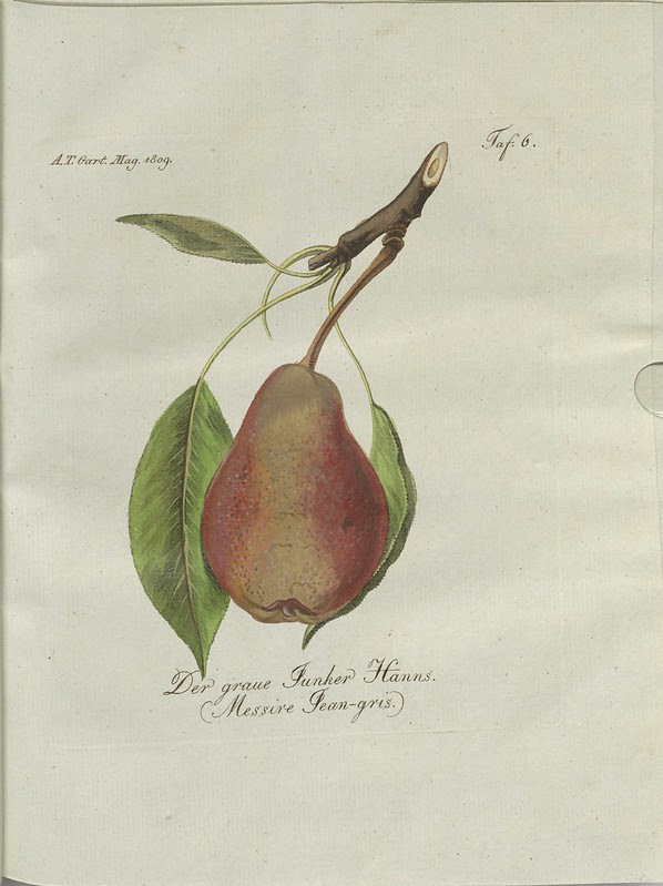 Der graue Junker Hanns. (Messire Jean-gris.) (hand-coloured botanical engraving courtesy kulturerbe niedersachsen)