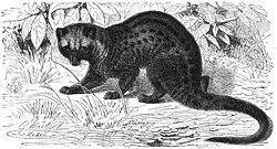 Musang luwak, Paradoxurus hermaphroditus.  Lukisan oleh Gustav Mützel, 1927.