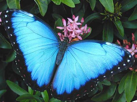 blue butterflies  amazon rainforest brazil xcitefunnet