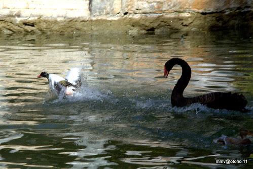 comienza el ataque o la mala conciencia del pato