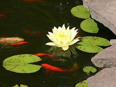 Υδρόβια φυτά στη λίμνη εσωτερικού χώρου