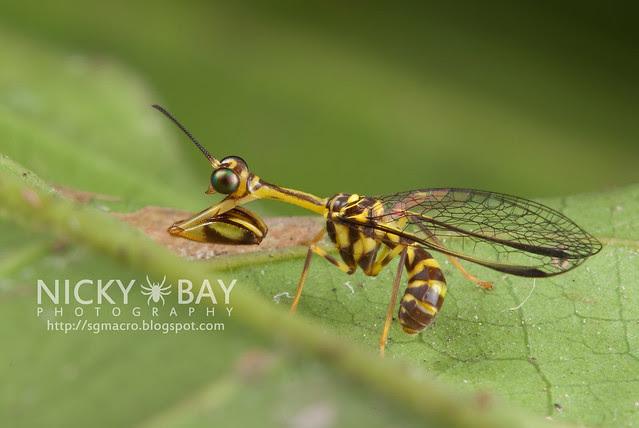 Mantisfly (Mantispidae) - DSC_9611