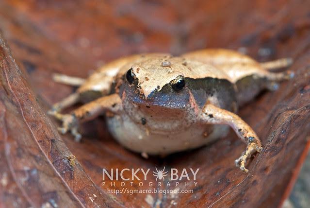 Dark-sided Chorus Frog? (Microhyla heymonsi) - DSC_4861