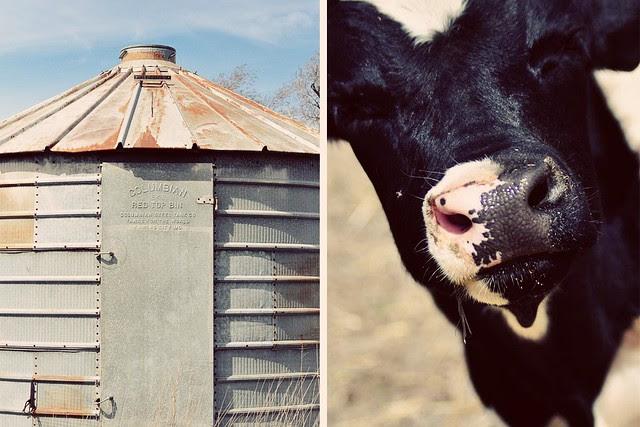 grain thing // cow