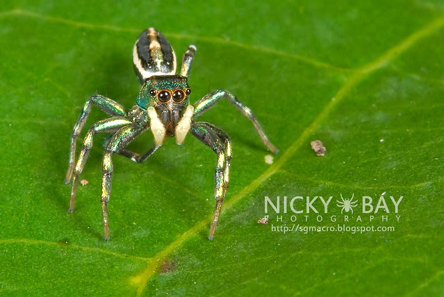 Jumping Spider (Salticidae) - DSC_9904