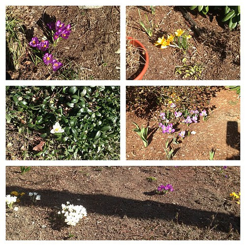 So many crocuses on the way home today! #spring #flowers #wahoo!