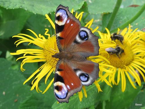 074 butterflies, Mustasaari Island, Helsinki