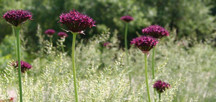 Allium atropurpureum. Pure love. The grass underneath is Festuca glauca, a cool season grass.