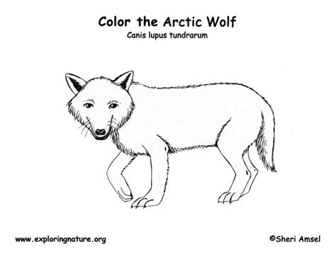 wolf arctic coloring nature