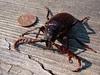 """prionus beetle - 3"""" long!"""