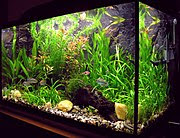 A freshwater aquarium with plants and tropical fish.