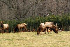 Boxley Elk