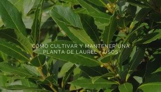 CÓMO CULTIVAR Y MANTENER UNA PLANTA DE LAUREL Y USOS