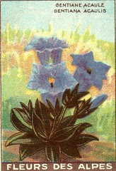 fleurs alpes 3