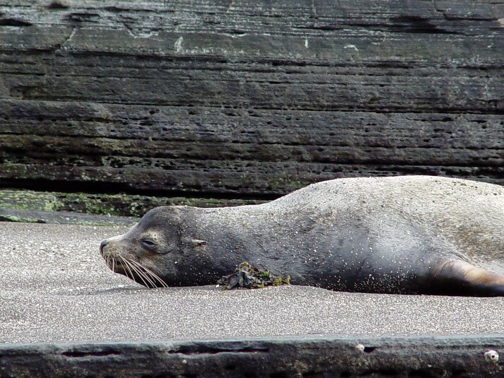 DSC00837 Galápagos sea lion