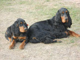 Gordon Setter Puppies For Sale in Northern Wisconsin