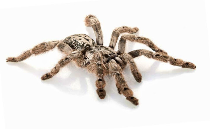 10 most dangerous spiders in the world 4