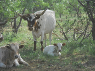 New Calf Salomón with His Dam Casi Blanca